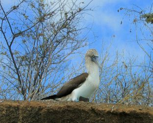 Blue-footed Booby by ArtbyMom