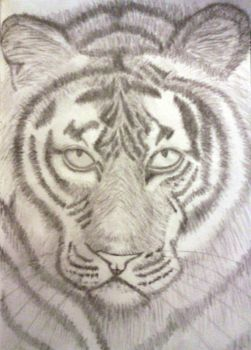 tiger by Staps