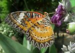 Leopard lacewing by Sia-the-Mawile