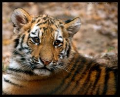 confused cub by morho