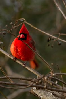 Cold Cardinal by Suzannesphotos