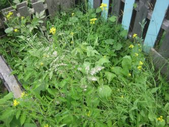 tomatoes and spinach Back Garden 2018 by pomchillasitems