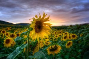 Sunflowers by stg123