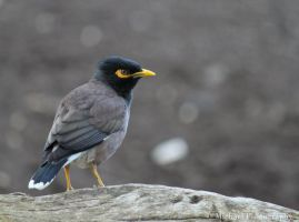 The Common Myna by Photomichael
