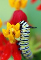 monarch caterpillar by pyro-alex1