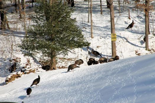 Turkeys by Shadowhawk9973