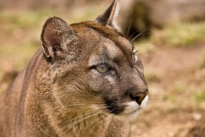 Mountain lion portrait by deadwolf140407
