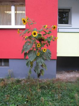 Piet Mondrian's Sunflower by tilianus