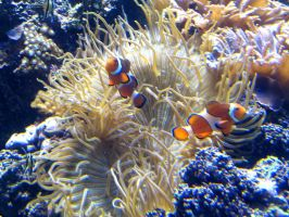 Clownfish with Anemone by Sunspot01