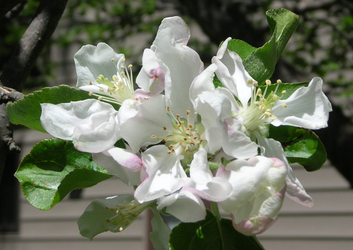 Apple Blossoms 1 by Weather-Angel-Adept