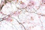 spring blossom by netflash33