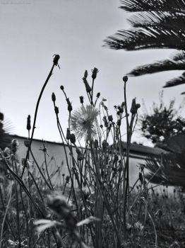 Dandelion silhouette - black and white  by Rosshi
