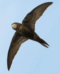 Apus Apus - The Common Swift by jinkies36