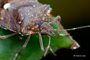 Shield Bug by melvynyeo