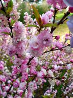 Flowering Almond 2 by Calypso1977