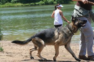 german shepherd dog 9 by jettstock