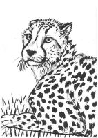 Cheetah by Tamara-Hawk