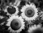 Sunfaces bw by kayaksailor