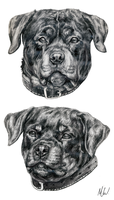 Rottweiler sketches by Reincheck