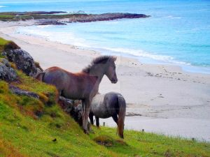 Eriskay Herd (Cleat , Isle of Barra, Scotland, UK)