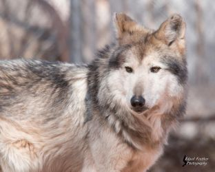 Mexican Gray Wolf 4 by EdgedFeather