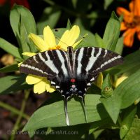 Zebra Swallowtail by Simbas-pal