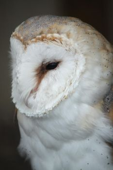 Barn Owl 2 by EdgedFeather