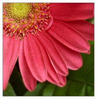 Pink Daisy by jeepgurl8204