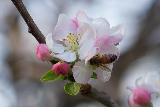 Kentucky American Plum with Bee by Leap