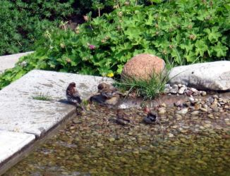 Bathing sparrows by inatheblue