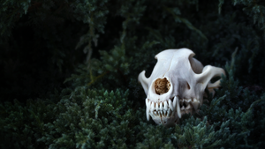wolf skull - FREE HD WALLPAPER by seriousbadger