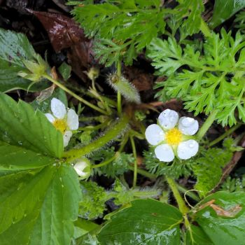 Strawberry flowers in the Rain by almostafaegodmother