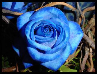 The Perfect Blue Rose by LordDrako