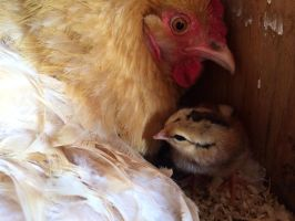 Mother hen. by Presona-photo