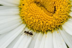 Daisy and The Ant close-up by duncan-blues