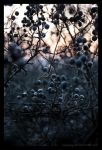 Blackthorn by Vitskog