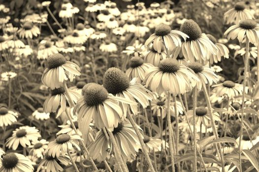 Flowers (Sepia) by bbrownie97