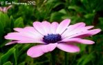 Pink Daises by BreeSpawn