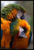 Parrot Love by Wivelrod