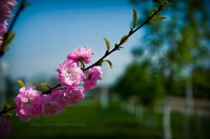 Pink blossoms by marphey