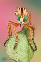 Hanging Thief - Diogmites sp. by ColinHuttonPhoto