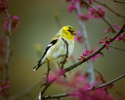American Goldfinch 2 by Stormboyz1208