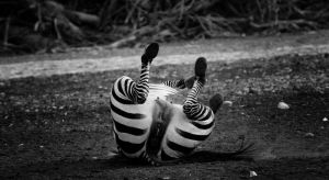 laughing zebra by Yair-Leibovich
