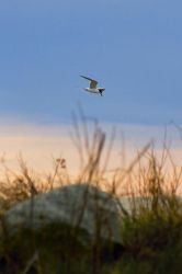 Tern Sunset by btoum