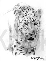 Leopard by krizok