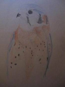 American Kestrel Drawn by BellonaGrimm