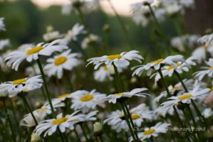 Daisies by Charlief43