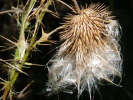 Thistle by kbcollins