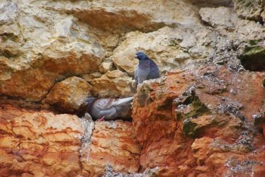 Feral pigeons (Columba livia) #1 by emilybee