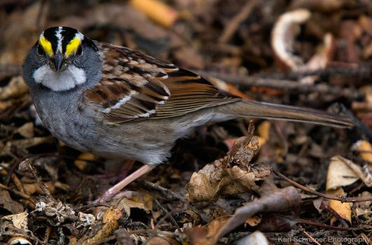 White Throated Sparrow by KSPhotographic